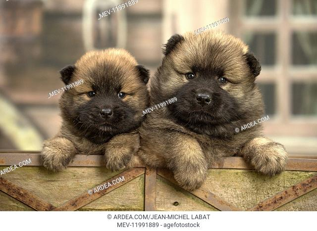 Two Eurasier puppies
