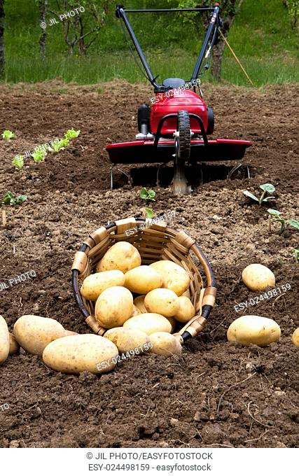 Freshly harvested potatoes on the field