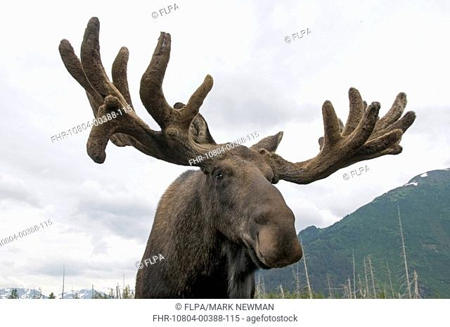 American Moose Alces alces americana adult male, close-up of head and antlers, in velvet, Alaska, U S A