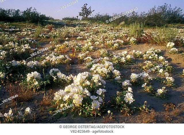 CA493B Desert primrose, Saddleback Butte State Park, CA