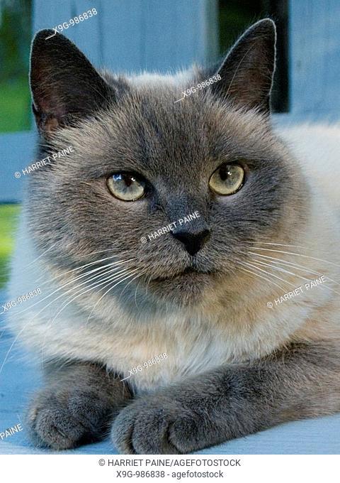 Himalayan mix breed cat