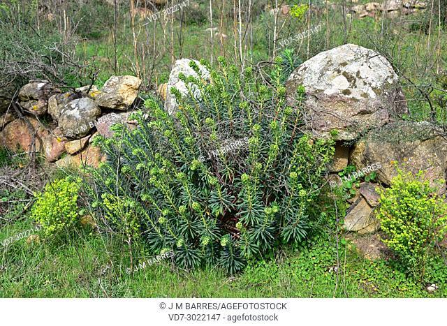 Mediterranean spurge (Euphorbia characias) is a shrub native to Mediterranean Basin. This photo was taken in Les Alberes Natural Park, Girona province