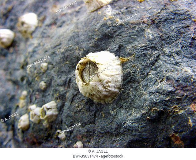 barnacle (Balanus spec.), on a rock, Germany, Lower Saxony