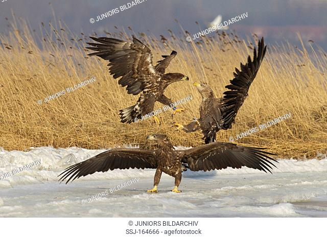 White-tailed Eagles - fighting / Haliaeetus albicilla