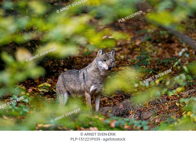 European grey wolf (Canis lupus) in autumn forest seen through foliage of undergrowth
