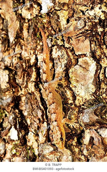 Mountain New Caledonian Gecko (Bavayia cyclura, Bavayia montana), well camouflaged at a tree trunk head first, New Caledonia, Ile des Pins