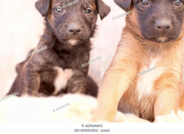 Two puppies, close up