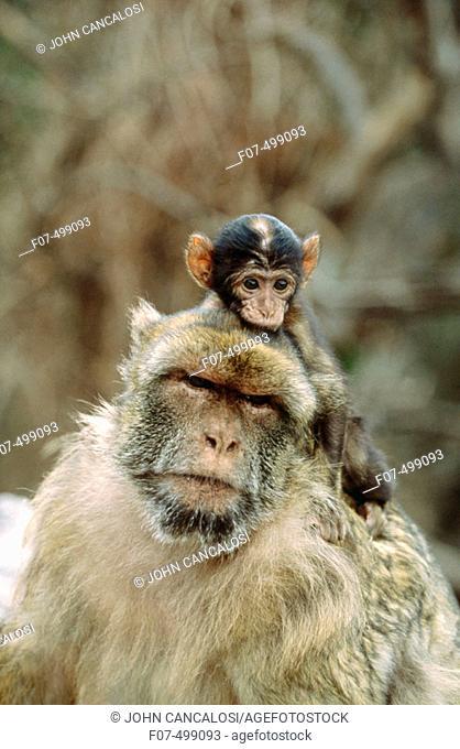 Barbary Macaque (Macaca sylvanus). Gibraltar, UK