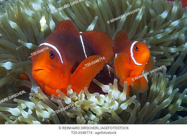 Pair of Spinecheek Clownfish, Premnas aculeatus, Tufi, Solomon Sea, Papua New Guinea