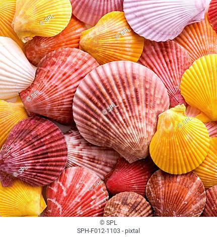 Colourful scallop shells