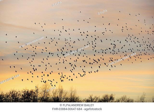 Common Starling (Sturnus vulgaris) flock, in roosting flight at sunset, Lackford Lakes Reserve, Suffolk, England, December