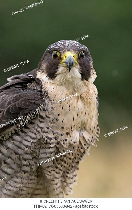 Peregrine Falcon (Falco peregrinus) adult, close-up of head and chest, during rainfall, (captive)