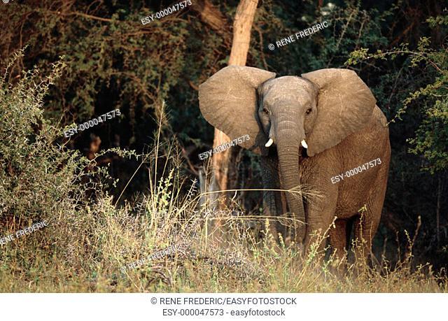 Young african elephant (Loxodonta africana). Zimbabwe