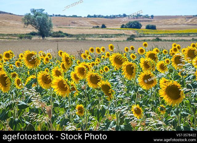 Sunflowers. Burgos, Spain