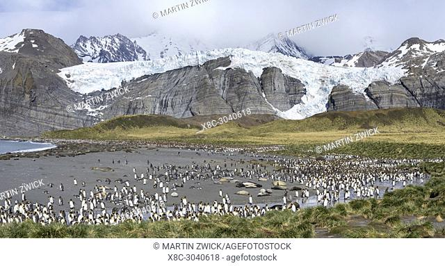 King Penguin (Aptenodytes patagonicus) on the island of South Georgia, the rookery in Gold Harbour. Antarctica, Subantarctica, South Georgia