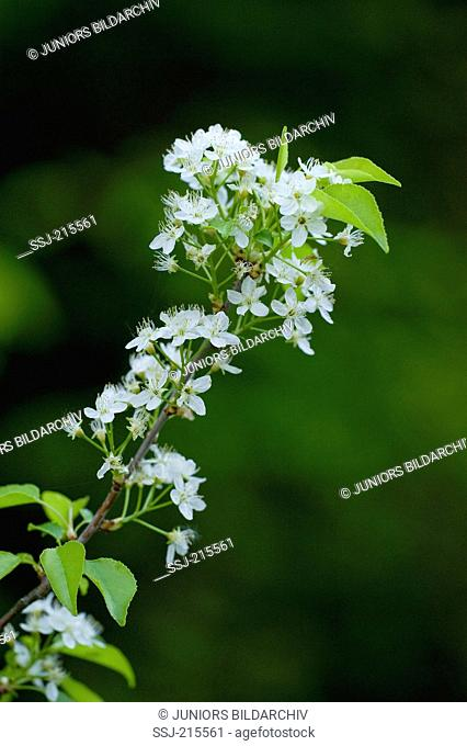 Mahaleb Cherry, St Lucie Cherry (Prunus mahaleb), flowering twig. Germany