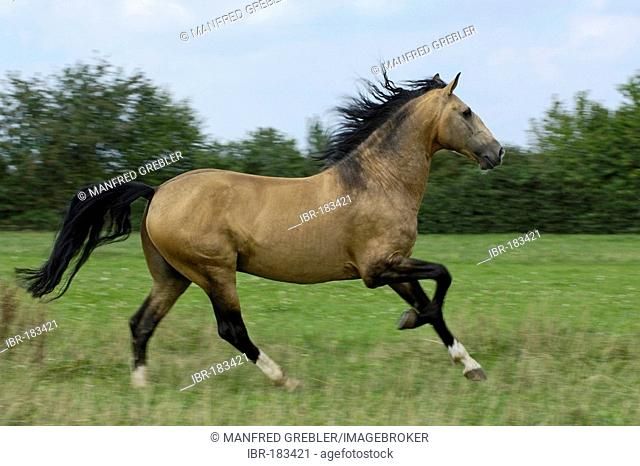 Lusitano horse stallion galloping on the paddock