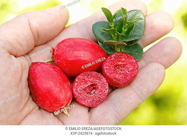 Natal plums. Carissa macrocarpa