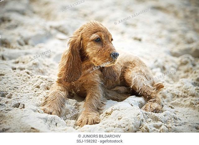 Cocker Spaniel dog - puppy lying in sand