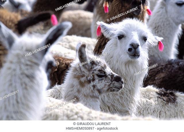 Bolivia, Oruro province, Circuta village, herd of llamas