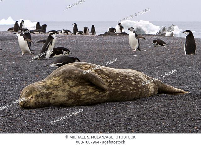 Adult Weddell seal Leptonychotes weddellii hauled out near the Antarctic Peninsula, Southern Ocean  MORE INFO This is the most southerly breeding seal in the...