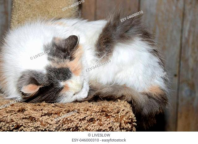 close up of calico cat sleeping on a brown carpet pedestal