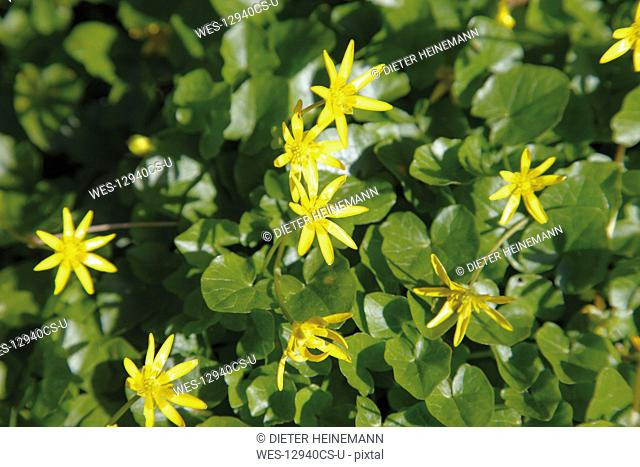 Germany, Fig Buttercup