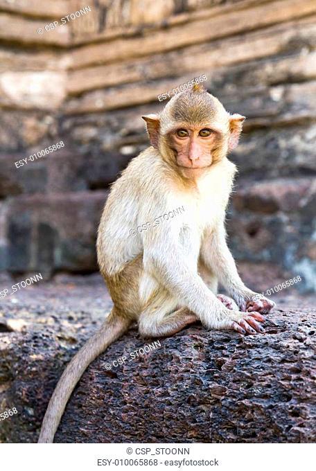 Portrait of young rhesus macaque monkey