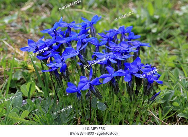 spring gentian (Gentiana verna), flowering, Austria, Hohe Tauern National Park