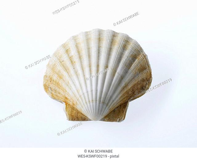 Raw Scallop in Shell, close-up
