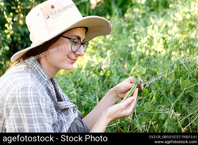 female farmer inspects the harvest of green peas in her farm