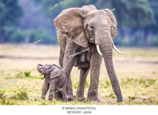 Baby Elephant playing with mother grazing. Masai Mara National Reserve, Kenya
