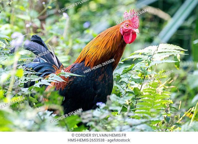India, Tripura state, Red Junglefowl (Gallus gallus) , male, wild