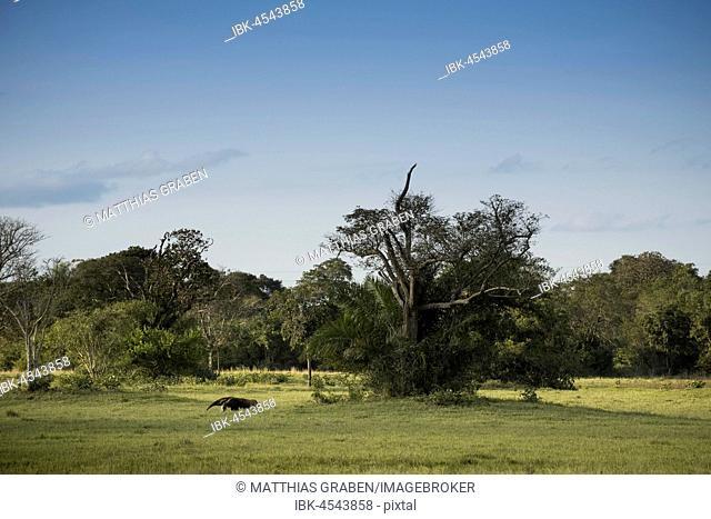 Giant anteater (Myrmecophaga tridactyla) in its habitat, Pantanal, Mato Grosso do Sul, Brazil