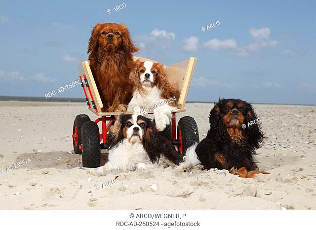 Cavalier King Charles Spaniel blenheim tricolour black-and-tan and ruby at beach Texel Island Netherlands handcart