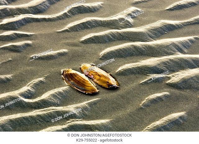 Runoff sand ripple patterns and razor clam shell on MacKenzie Beach at low tide, Pacific Rim, British Columbia, Canada