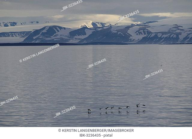 Thick-billed Murres or Bruennich's Guillemots (Uria lomvia) flying low over Sørporten, in front of mountains and glaciers, Spitsbergen Island