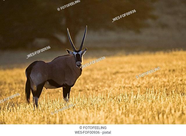 Africa, Namibia, Gemsbok Oryx gazella in grass