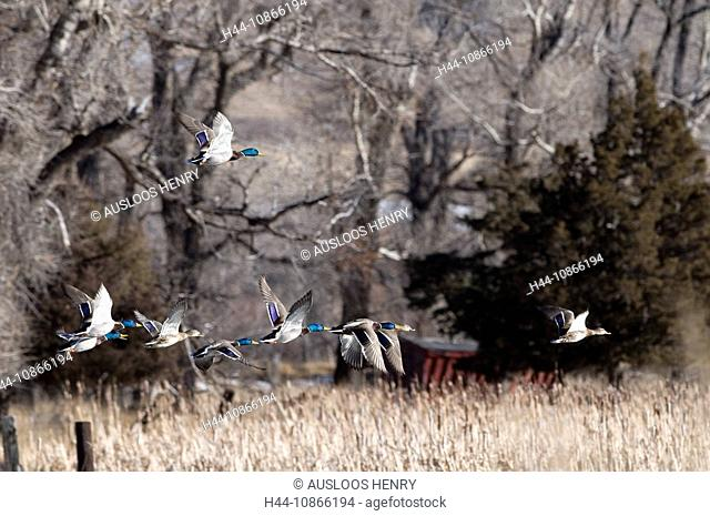 Mallard, Anas platyrhynchos, ducks, flock, flying, flight, low, grassland, meadow, acre, trees, landscape, winter, bird, birds, animal, nature, group