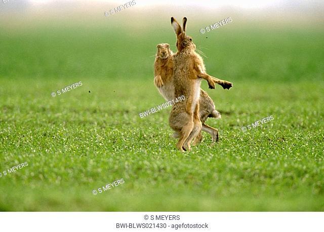 European hare Lepus europaeus, buck hare and male hare boxing, Austria, Burgenland, Neusiedler See, April 03