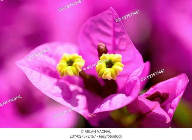 Beautiful magenta bougainvillea