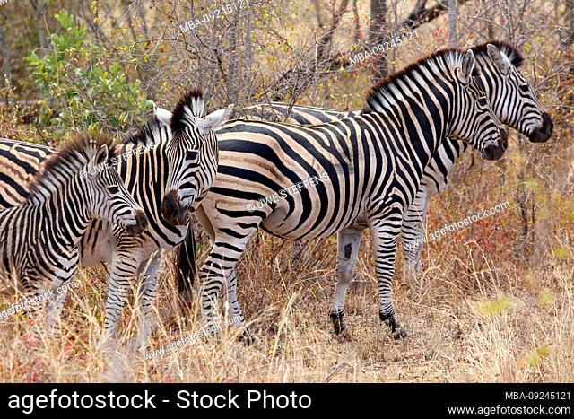 Burchell's zebras with cubs near Skukuza in the Kruger National Park