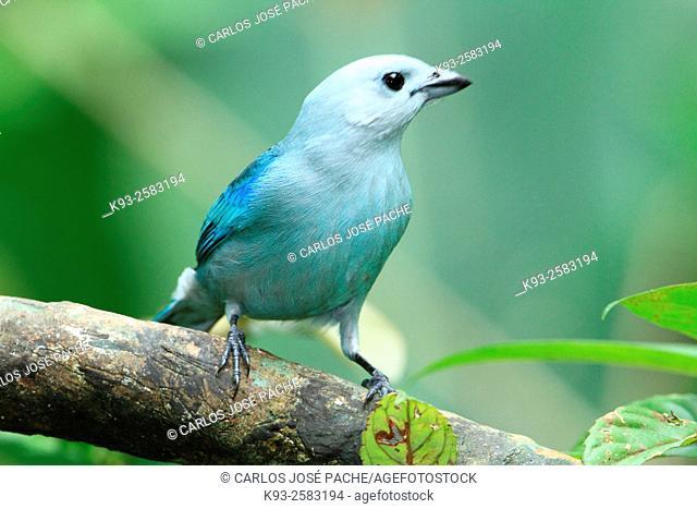 Tangara Azuleja ó Viudita o Viuda (Thraupis episcopus). Parque Nacional Volcán Arenal, Costa Rica