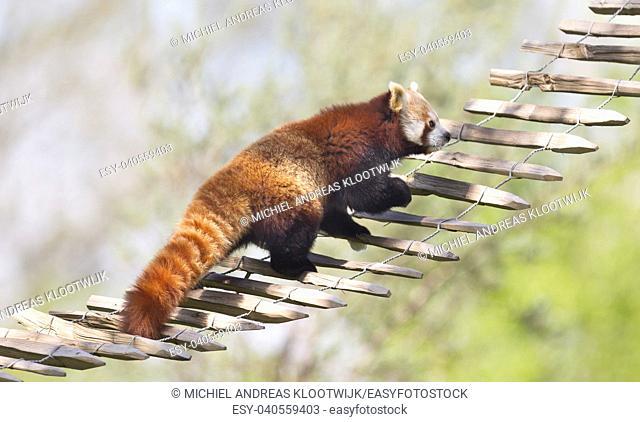 Red panda high up in the trees - Awake