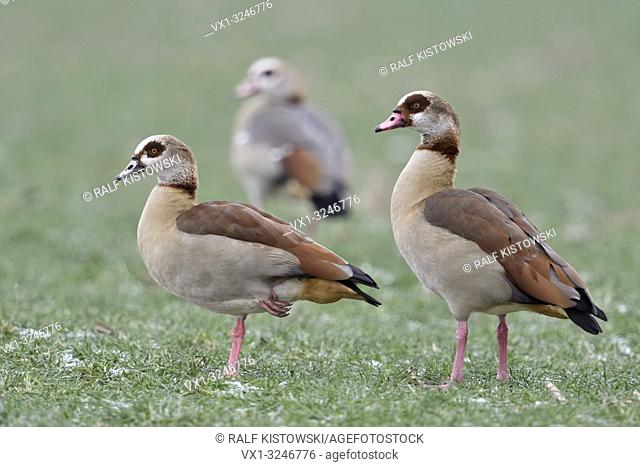 Egyptian Geese / Nilgaense (Alopochen aegyptiacus) pair in winter with a third young one in background, standing on frosty farmland, wildlife, Europe