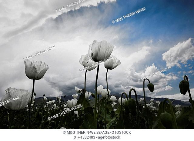 Opium poppy field, Papaver somniferum, Turkey