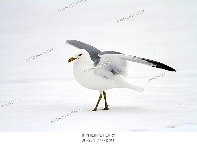 Ring-billed gull (Larus delawarensis) moving on a frozen lake stretching his wings, Montreal botanical garden; Montreal, Quebec, Canada