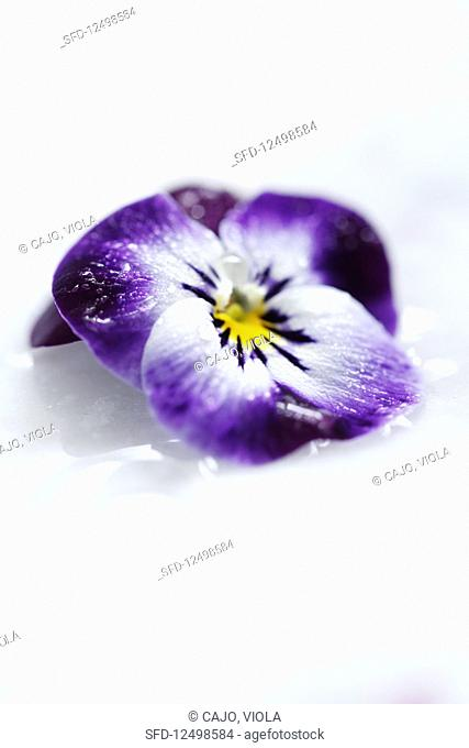 An edible violet iced flower