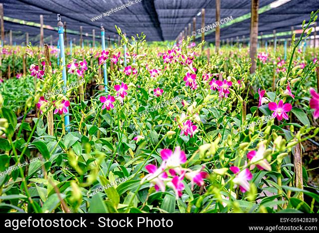 Pink flower bouquet on the stem of Dendrobium orchid in the greenhouse. The orchid farm is an agricultural industry in Thailand