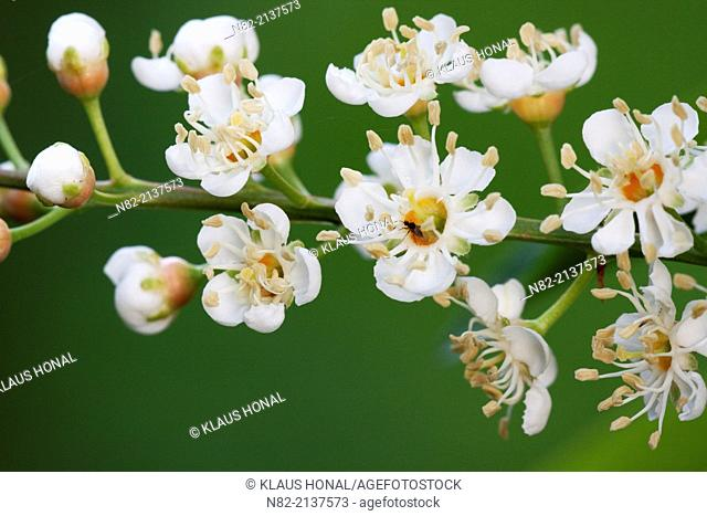 Portugal laurel (Prunus lusitanica) inflorescences in a garden. A twig with delicate, brilliant and sweet scented white blossoms. Bavaria, Germany